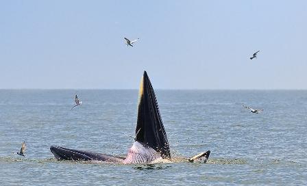 ชี้ลูกวาฬที่ตายเป็นพันธุ์'โอมูร่า'