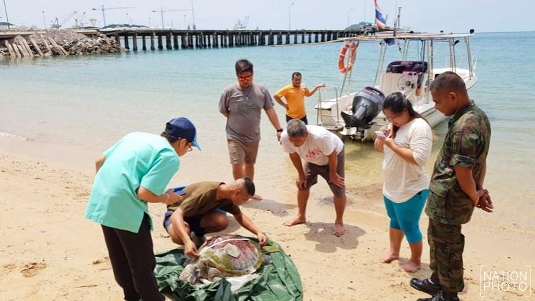 เต่าตนุ ถูกใบพัดเรือฟันกระดองแตกตาย