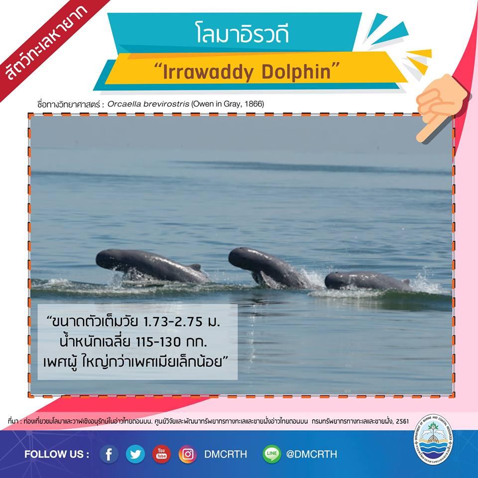 โลมาอิรวดี Irrawaddy Dolphin