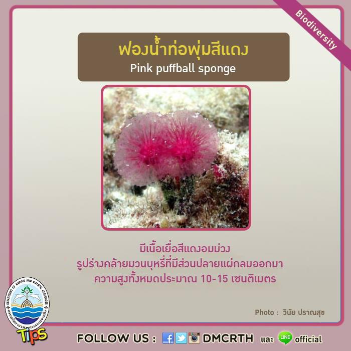 ฟองน้ำท่อพุ่มสีแดง (Pink puffball sponge)