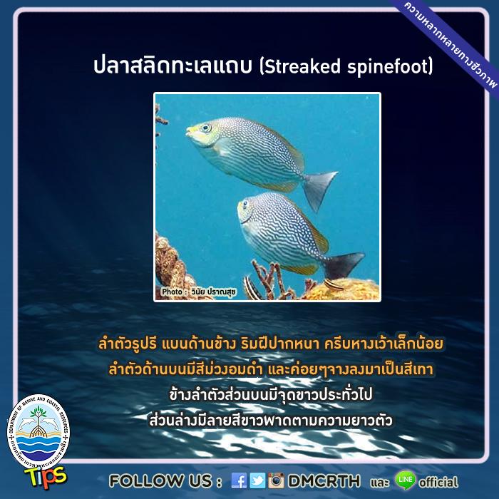 ปลาสลิดทะเลแถบ (Streaked spinefoot)