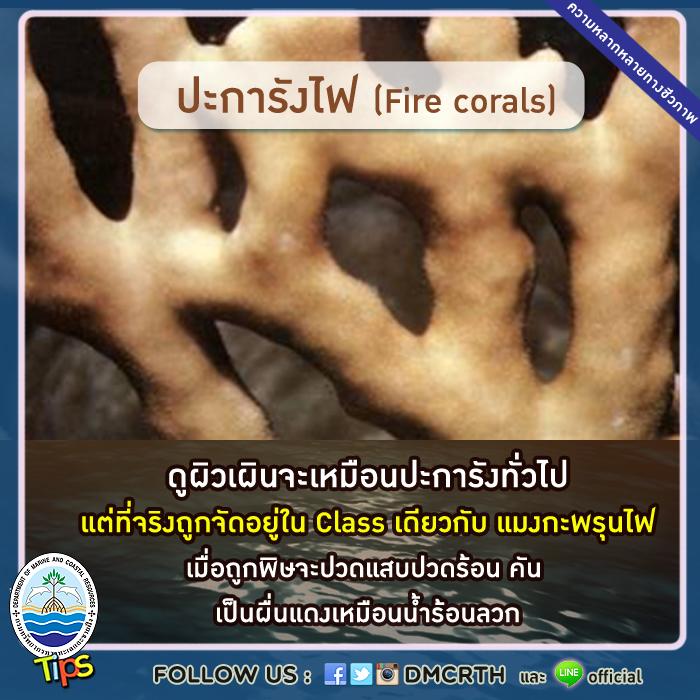 ปะการังไฟ (Fire corals)