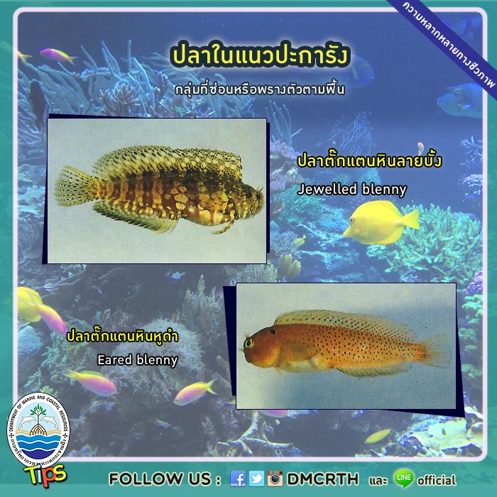 ปลาในแนวปะการัง : ปลาตั๊กแตนหินลายบั้งและปลาตั๊กแตนหินหูดำ