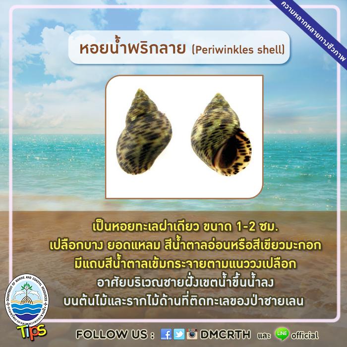 หอยน้ำพริกลาย (Periwinkles shell)