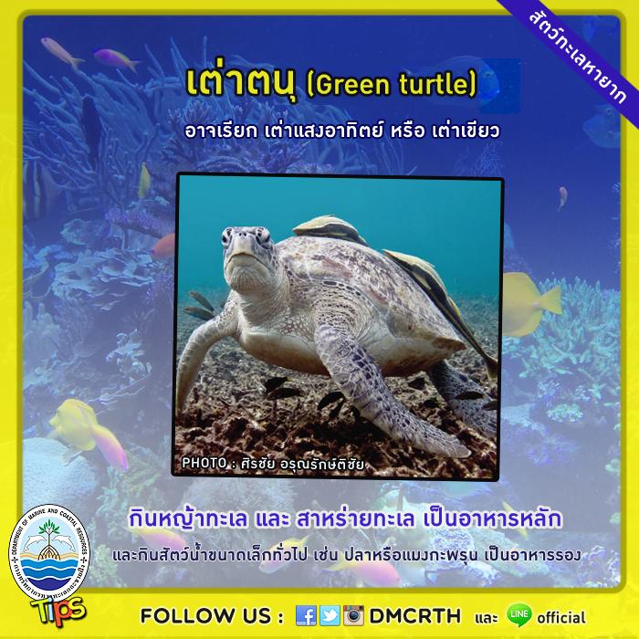 เต่าตนุ (Green turtle)