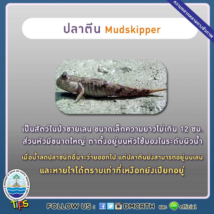 ปลาตีน (Mudskipper)