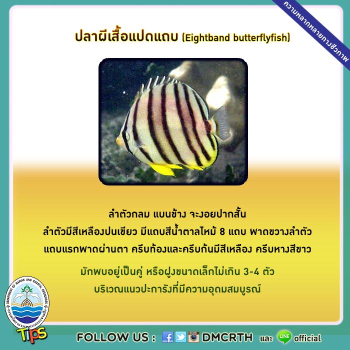 ปลาผีเสื้อแปดแถบ (Eightband butterflyfish)