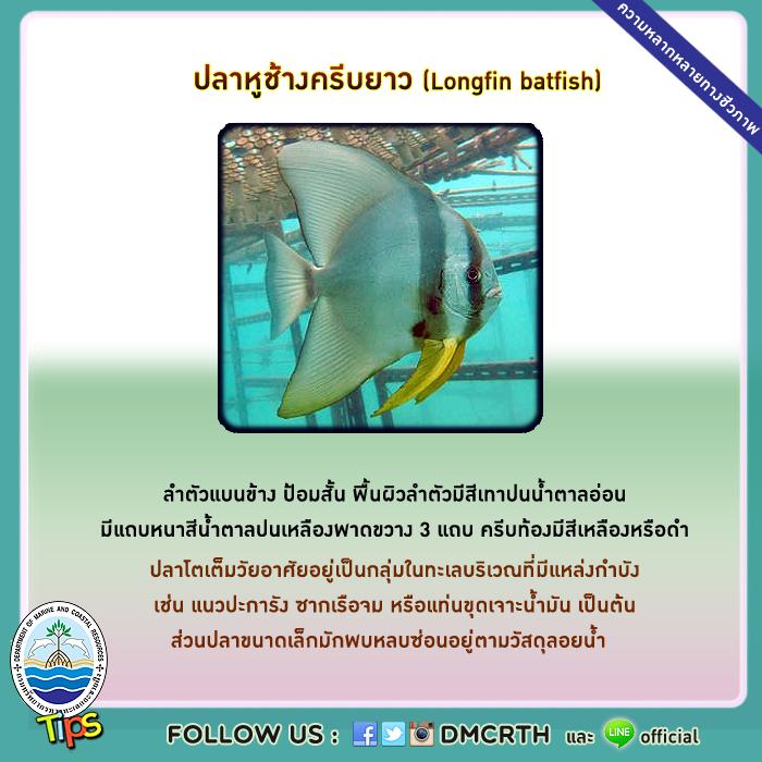 ปลาหูช้างครีบยาว (Longfin batfish)