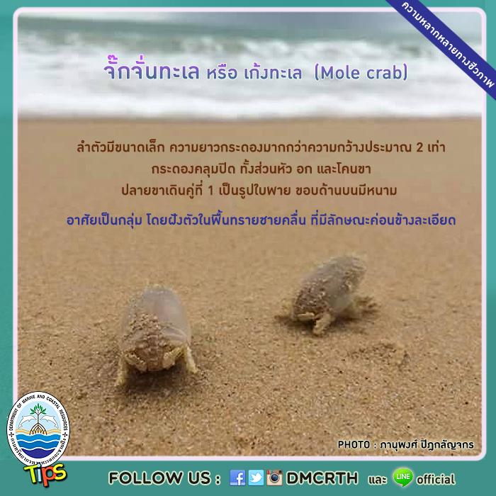 จั๊กจั่นทะเล หรือ เก้งทะเล (Mole crab)