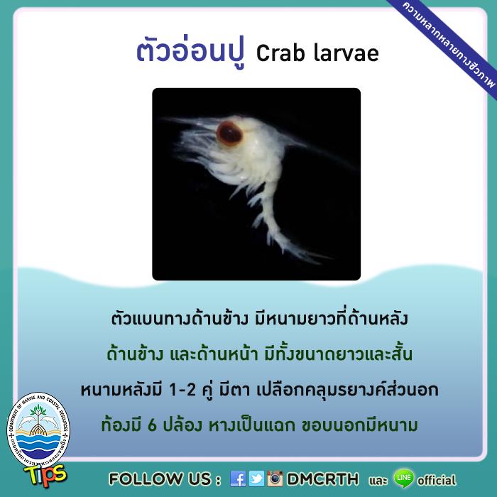 ตัวอ่อนปู (Crab larvae)