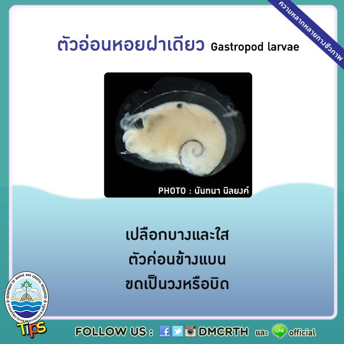 ตัวอ่อนหอยฝาเดียว (Gastropod larvae)