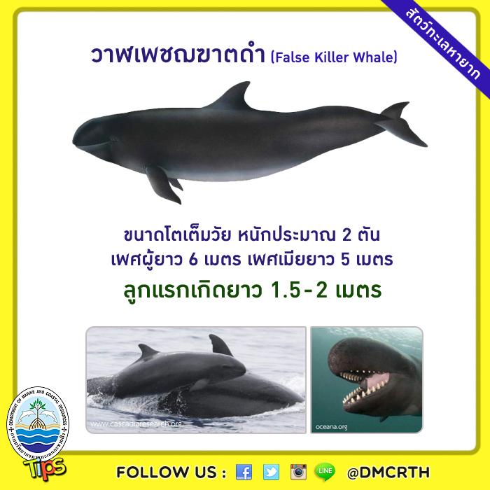 วาฬเพชฌฆาตดำ (False Killer Whale)