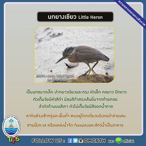 นกยางเขียว (Little Heron)