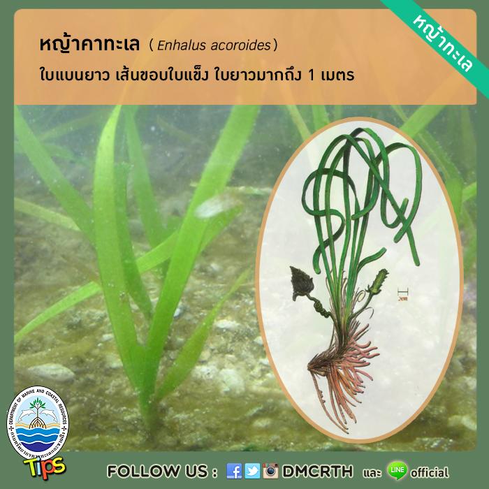 หญ้าคาทะเล (Enhalus acoroides)