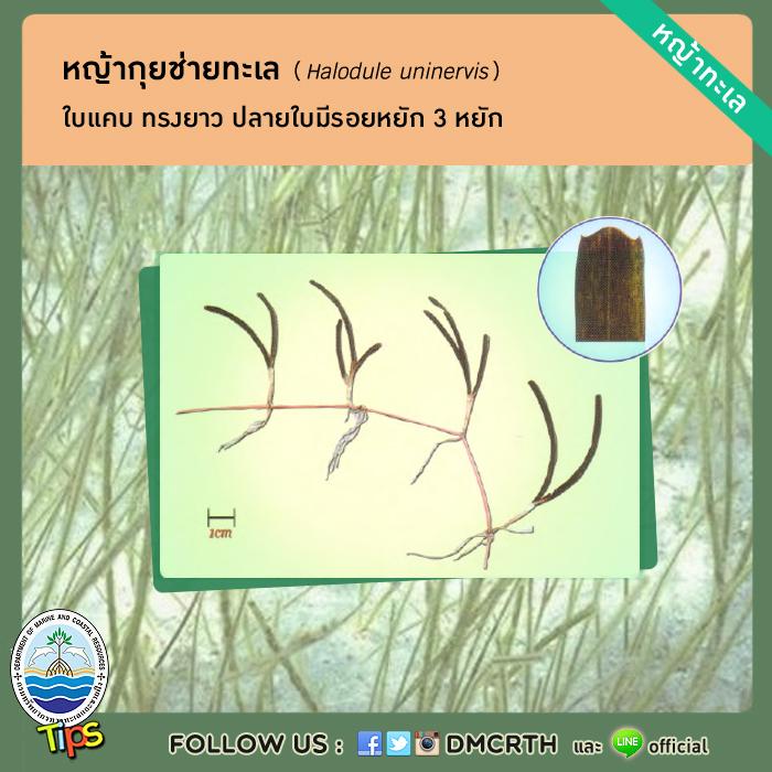 หญ้ากุยช่ายทะเล (Halodule uninervis)