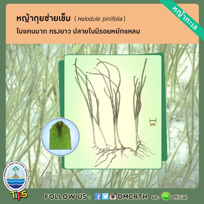 หญ้ากุยช่ายเข็ม (Halodule pinifolia)