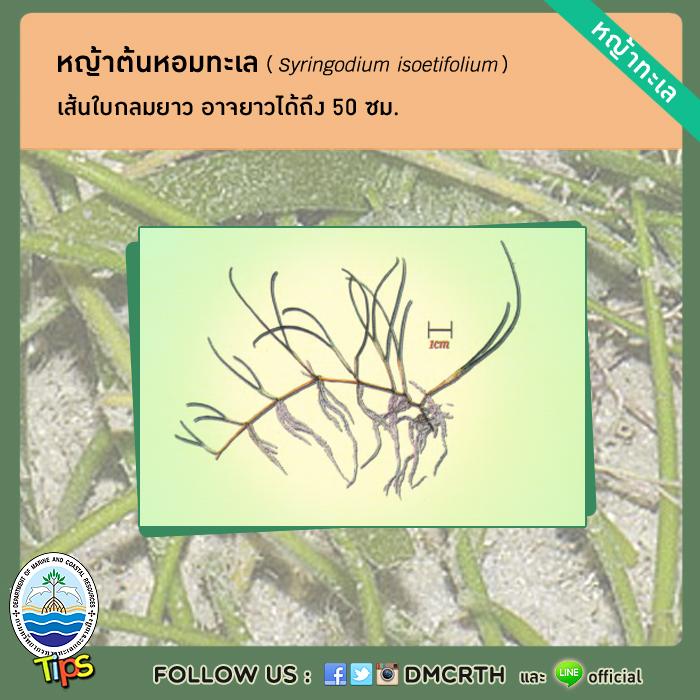 หญ้าต้นหอมทะเล (Syringodium isoetifolium)