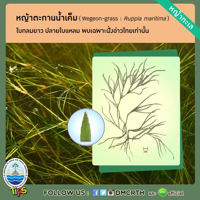 หญ้าตะกานน้ำเค็ม (Ruppia maritima)