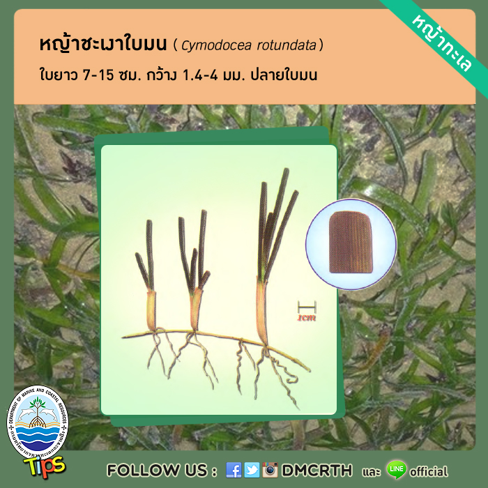 หญ้าชะเงาใบมน (Cymodocea rotundata)