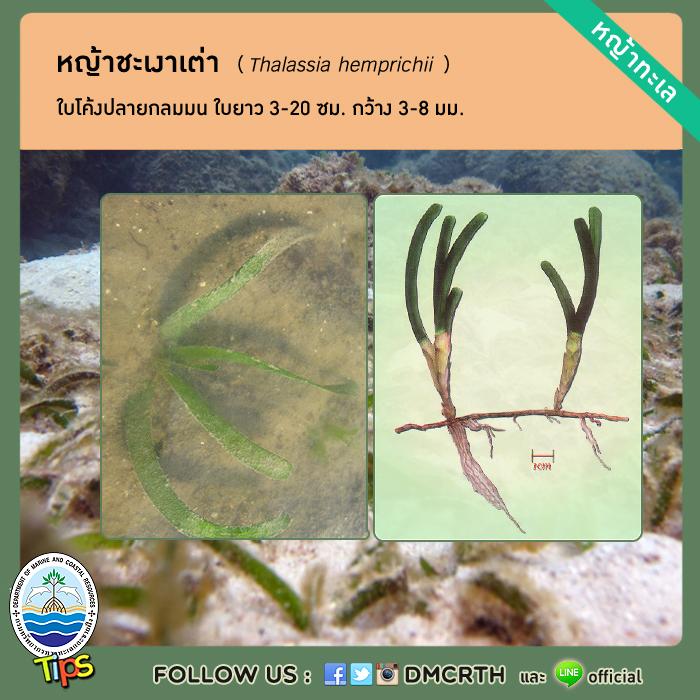 หญ้าชะเงาเต่า (Thalassia hemprichii )