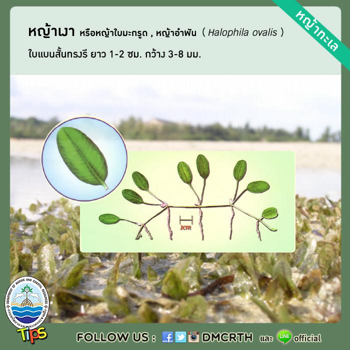หญ้าเงา หรือหญ้าใบมะกรูด หรือหญ้าอำพัน (Halophila ovalis)