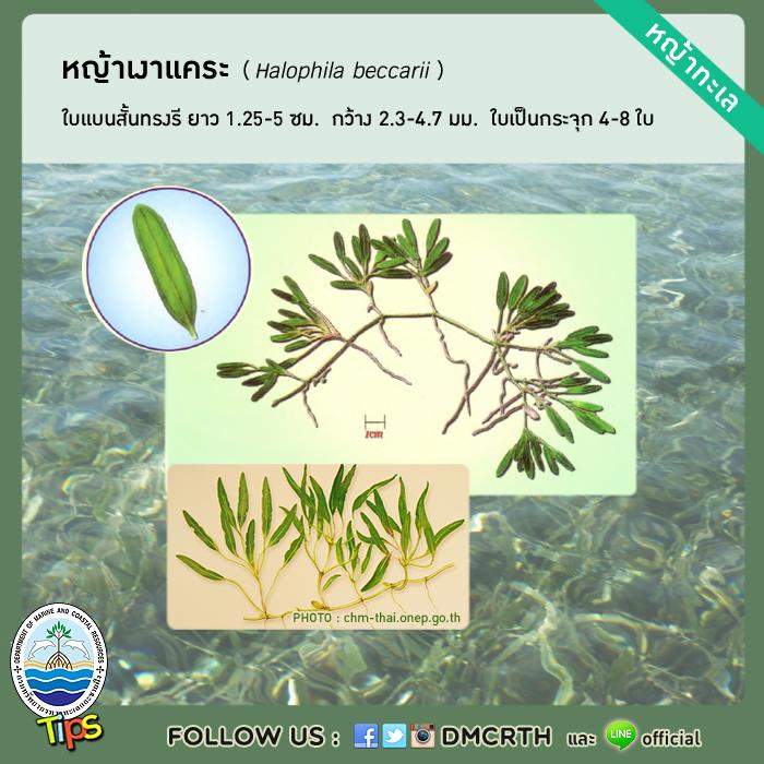 หญ้าเงาแคระ (Halophila beccarii)