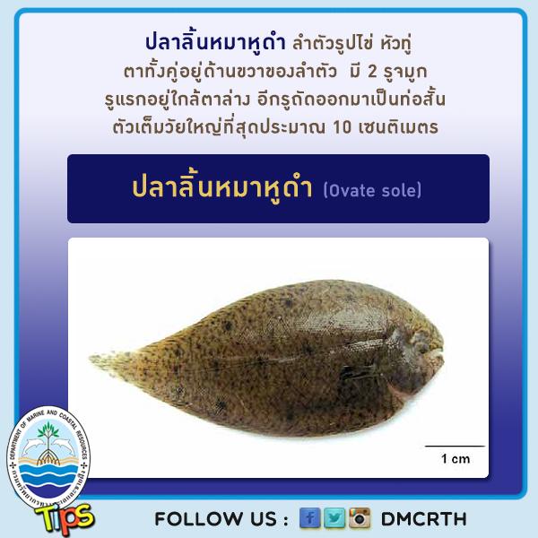 ปลาลิ้นหมาหูดำ (Ovate sole)