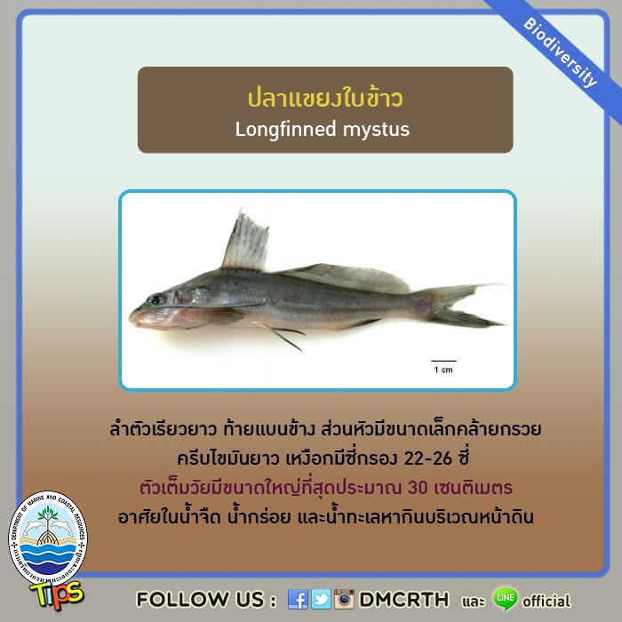 ปลาแขยงใบข้าว (Longfinned mystus)