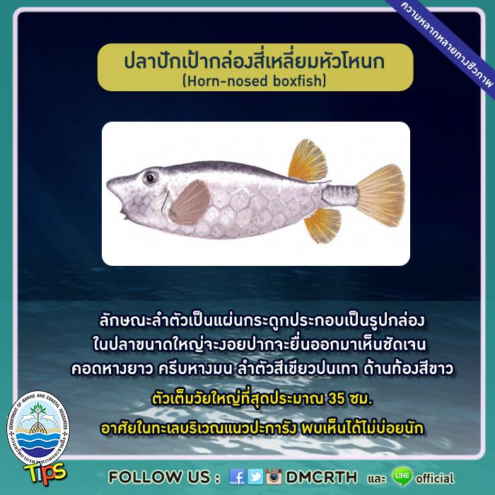 ปลาปักเป้ากล่องสี่เหลี่ยมหัวโหนก (Horn-nosed boxfish)