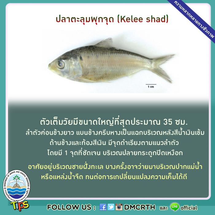 ปลาตะลุมพุกจุด (Kelee shad)