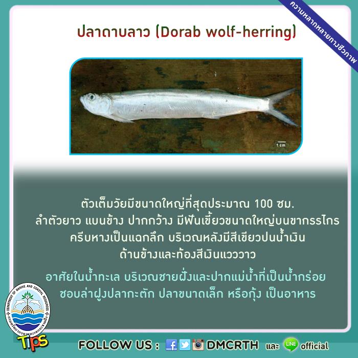 ปลาดาบลาว (Dorab wolf-herring)