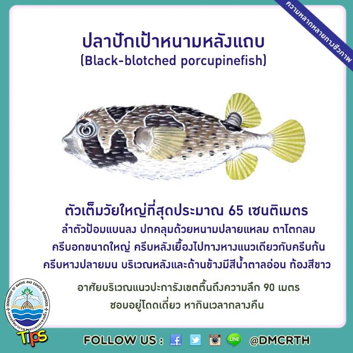 ปลาปักเป้าหนามหลังแถบ (Black-blotched porcupinefish)