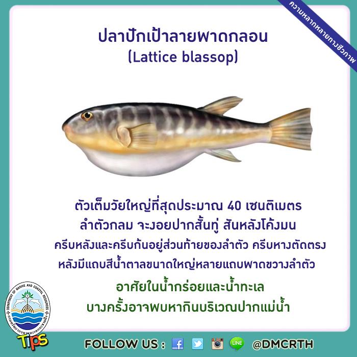ปลาปักเป้าลายพาดกลอน (Lattice blassop)
