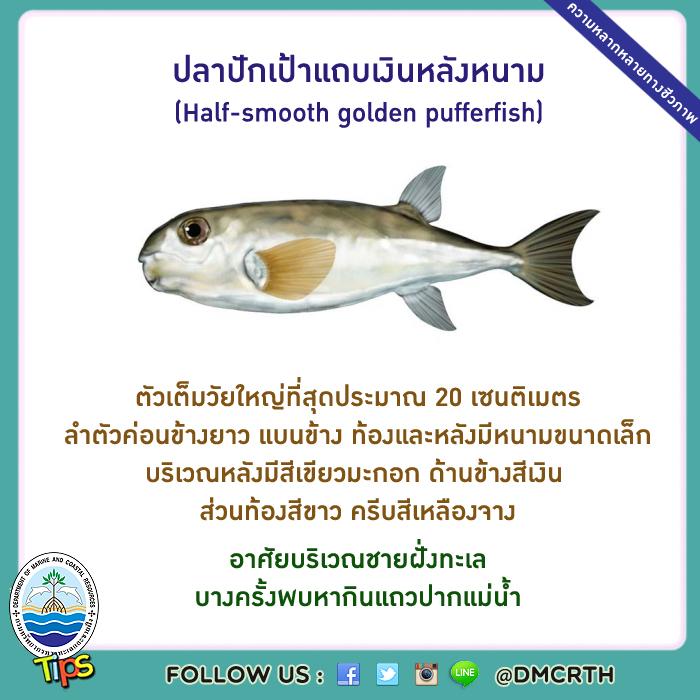 ปลาปักเป้าแถบเงินหลังหนาม (Half-smooth golden pufferfish)