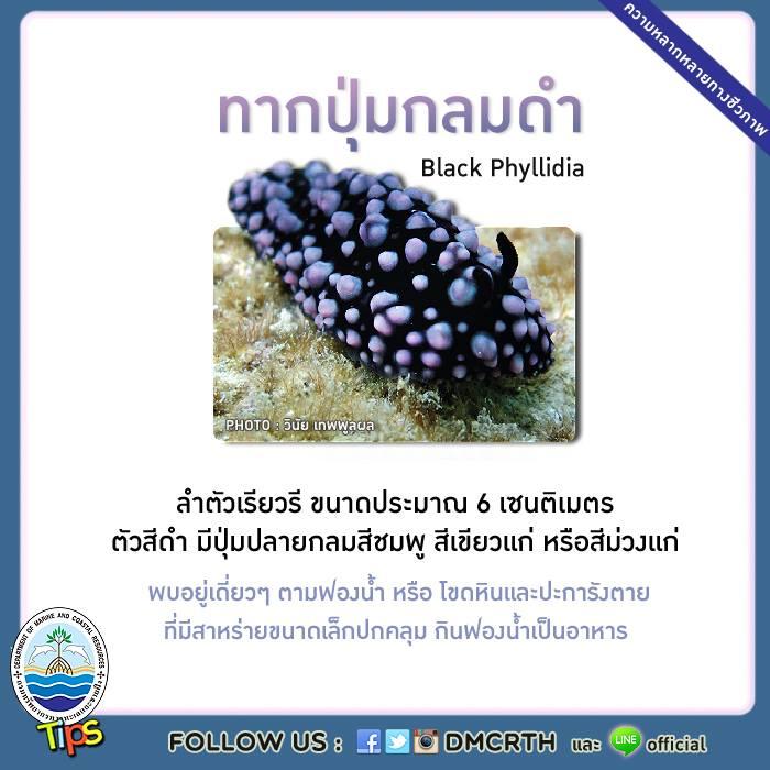 ทากปุ่มกลมดำ (Black Phyllidia)