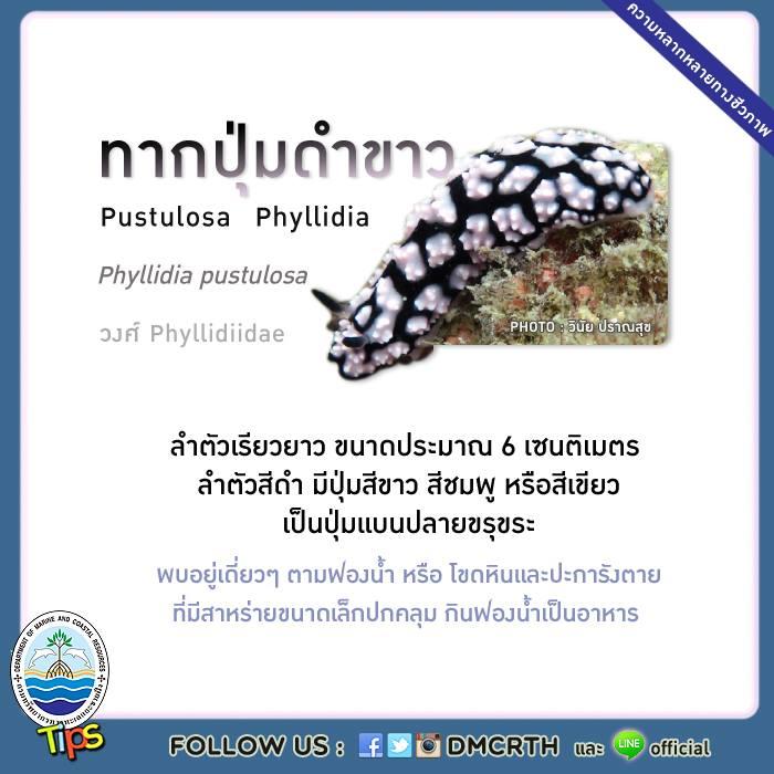 ทากปุ่มดำขาว (Pustulosa Phyllidia)