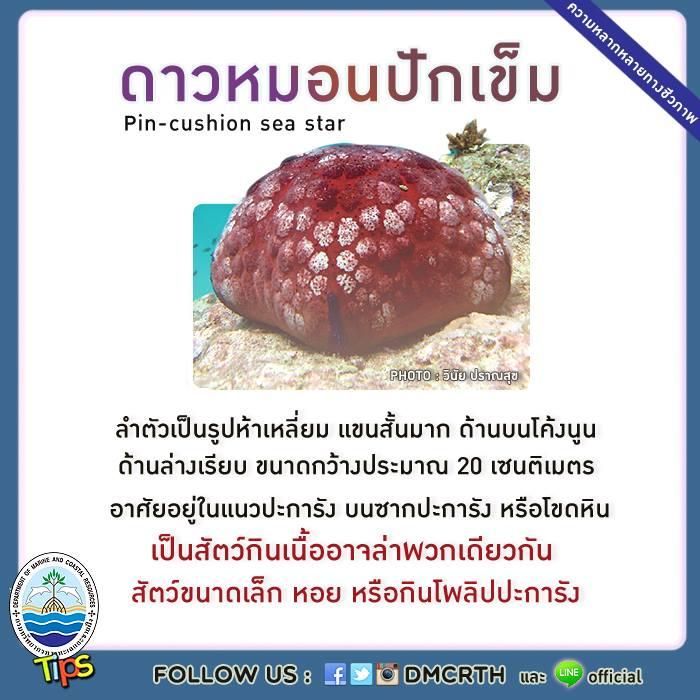 ดาวหมอนปักเข็ม (Pin-cushion sea star)