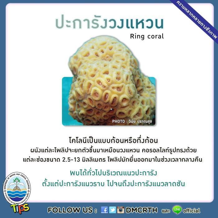 ปะการังวงแหวน (Ring coral)