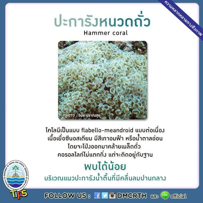 ปะการังหนวดถั่ว (Hammer coral)