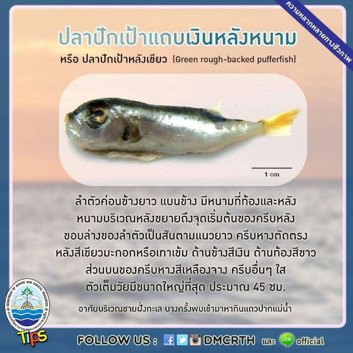 ปลาปักเป้าแถบเงินหลังหนาม หรือ ปลาปักเป้าหลังเขียว (Green rough-backed pufferfish)