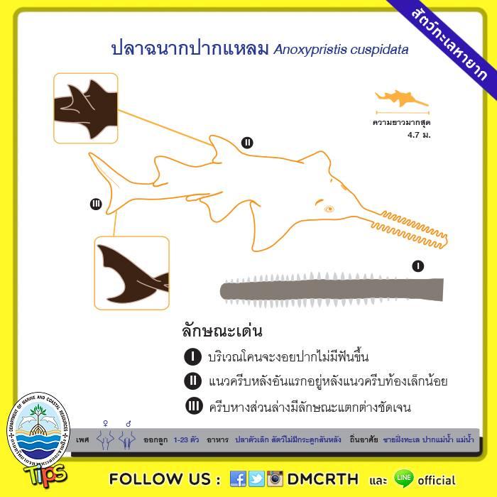 ปลาฉนากปากแหลม (Narrow Sawfish)
