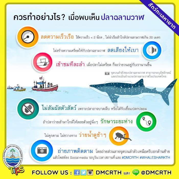 ข้อปฏิบัติที่ถูกต้อง เมื่อพบเห็น ปลาฉลามวาฬ ยักษ์ใหญ่ใจดีแห่งท้องทะเล