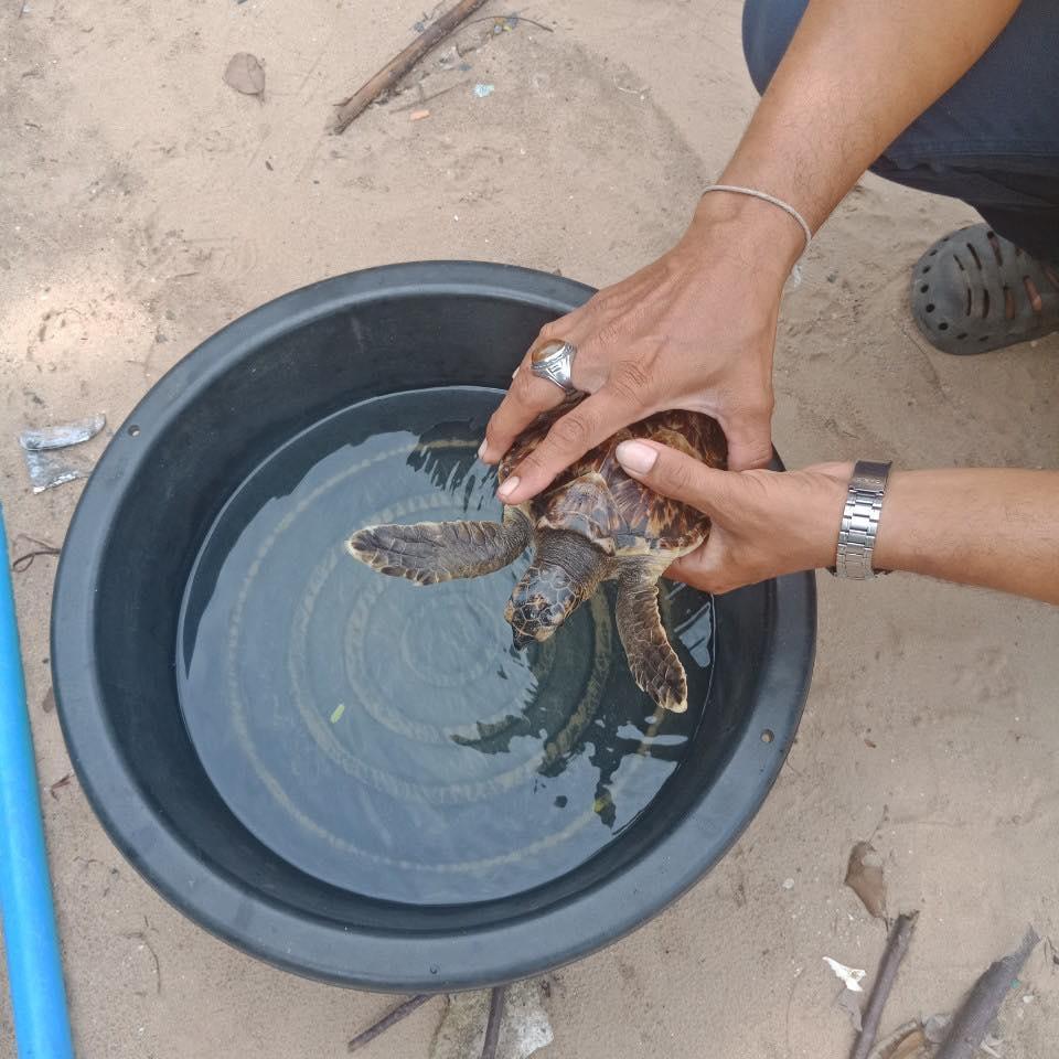 คลื่นซัดแรง ลูกเต่าอ่อนล้าเกยตื้นทะเลสทิงพระ