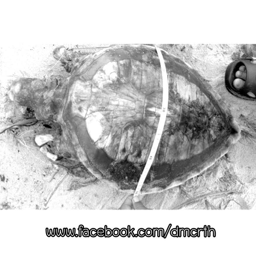 เต่าทะเลเกยตื้นทะเลสงขลา พบเชือกในทางเดินอาหาร