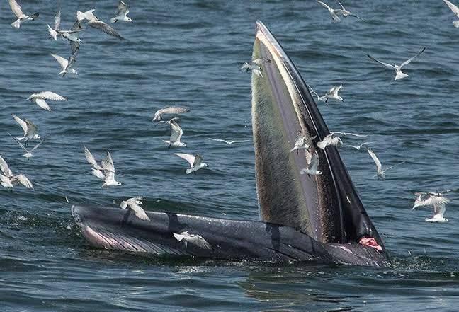 """ทช. ย้ำช่วยกันดูแลวาฬบูรด้า """"แม่ทองดี"""" หลังพบเป็นแผลใหญ่ที่ปาก  คาดถูกเชือก-เอ็นรัด เสี่ยงตาบอด"""