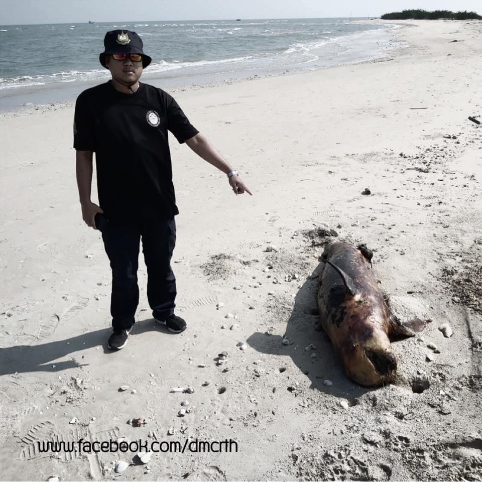 เสียดาย พบซากโลมาอิรวดีตัวใหญ่เกยหาดชะอำ