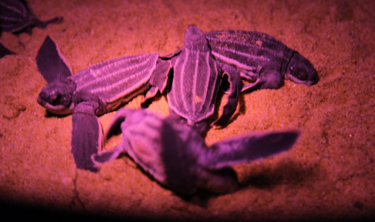 เฮ!! ลูกเต่ามะเฟืองรังแรก 49ตัว โผล่ลืมตาดูโลก
