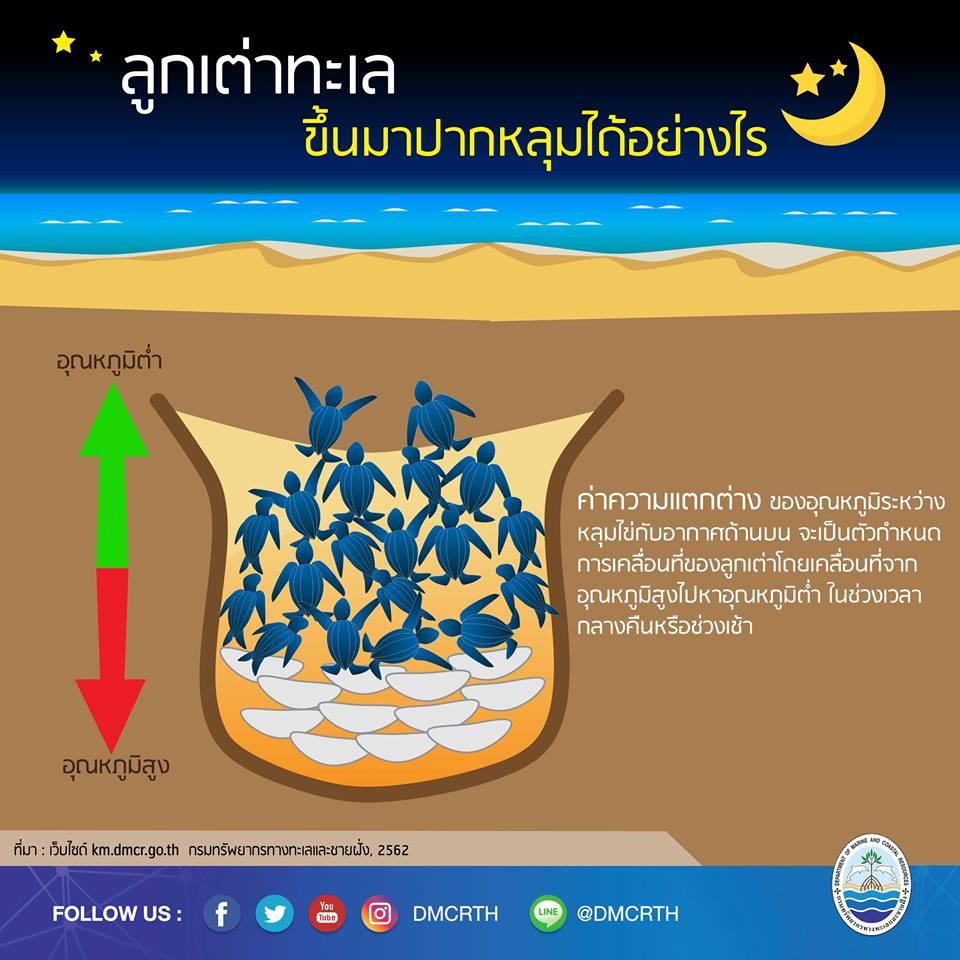 เรารักเต่ามะเฟือง ตอนที่ 4 : ลูกเต่าทะเลขึ้นมาปากหลุมได้อย่างไร