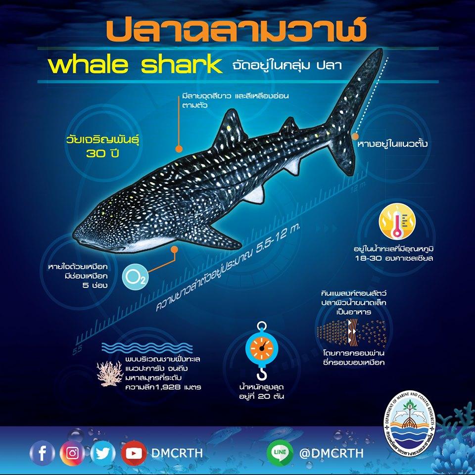 มารู้จักปลาฉลามวาฬ สัตว์ทะเลในบัญชีสัตว์สงวนชุดใหม่