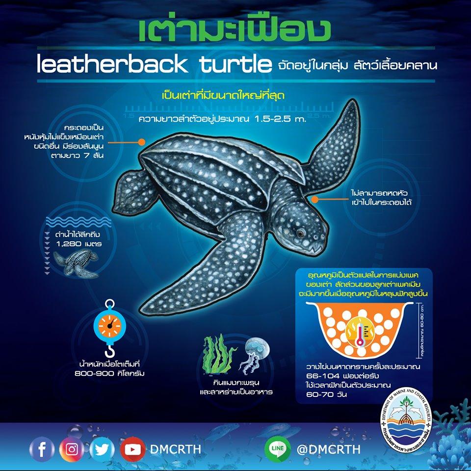มารู้จักเต่ามะเฟือง สัตว์ทะเลในบัญชีสัตว์สงวนชุดใหม่